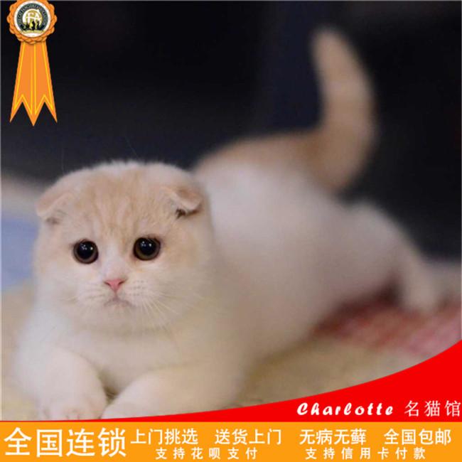 苏格兰折耳猫幼猫活体宠物猫咪纯种活体幼猫折耳猫宠物猫