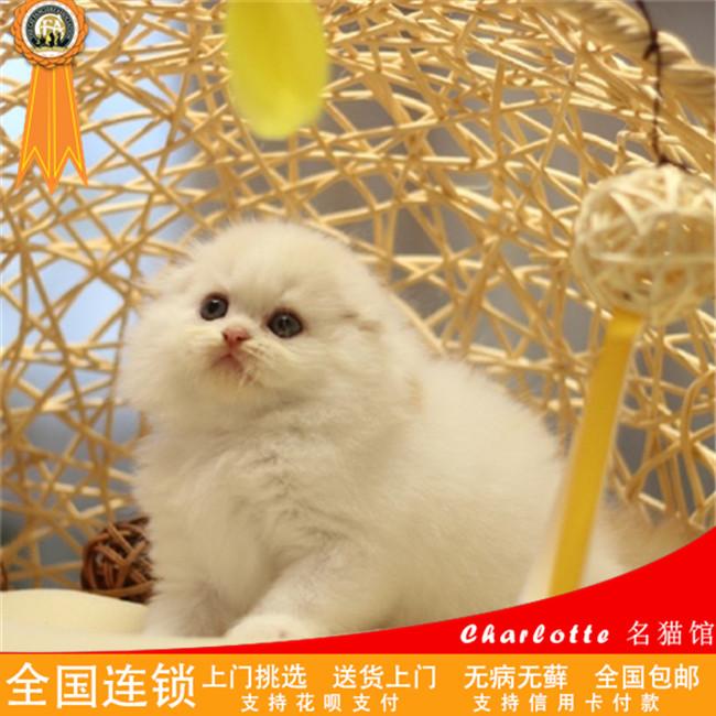 折耳猫苏格兰折耳猫折耳猫宠物纯种蓝猫宠物活体幼猫