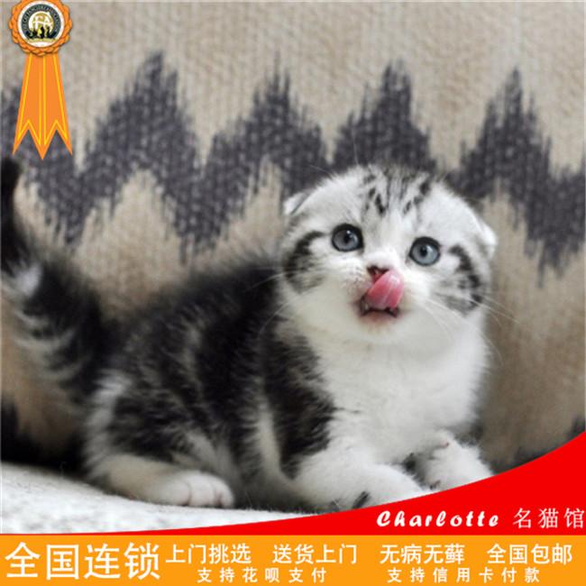 纯种宠物小猫咪幼猫活体折耳猫苏格兰折耳猫英国猫咪可爱粘人加