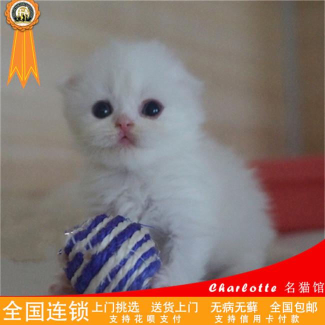蓝猫折耳英短渐层折耳猫苏格兰折耳猫活体幼猫出售