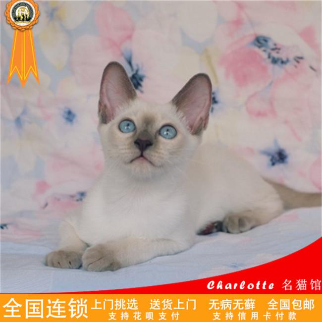 暹罗猫活体纯种泰国海豹色宠物猫幼猫淡紫色家养小猫咪幼崽迷你