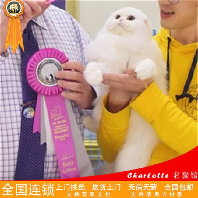 美短加白折耳猫活体幼猫宠物猫出售纯种健康苏格兰折耳猫