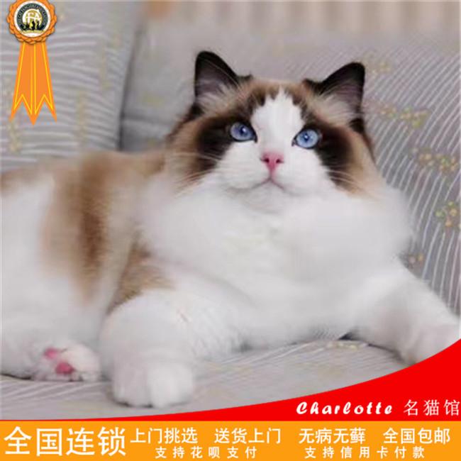 猫舍出售布偶猫纯种健康支持上门挑选高贵优雅品种可爱粘人