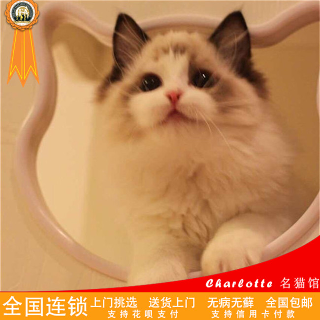 出售布偶猫幼猫活体支持上门挑选送货上门血统五代可查