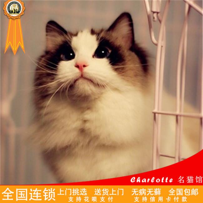 双色蓝眼精品布偶猫健康纯种高贵优雅无病无藓名门后代