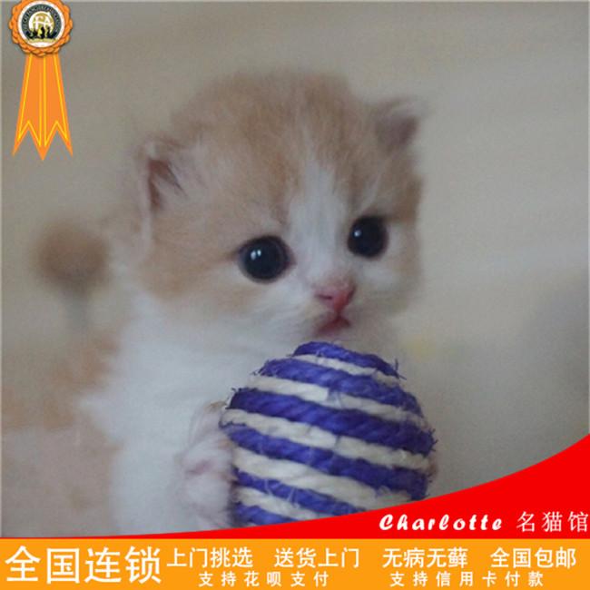 苏格兰折耳猫英短折耳小猫猫舍活体幼猫纯种猫咪家养出售包健康