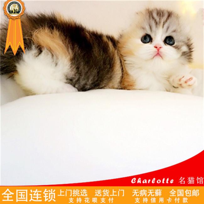 纯种苏格兰折耳猫立耳银渐层英国短毛幼猫活体宠物猫幼猫活体
