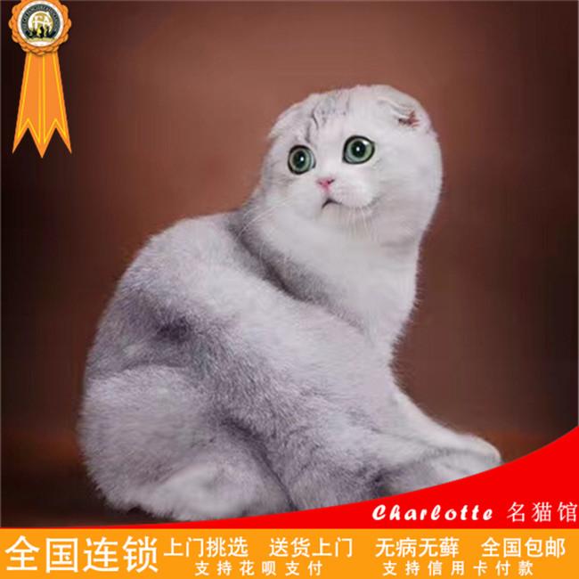 出售苏格兰折耳猫英短折耳小猫活体幼猫纯种猫咪家养包健康