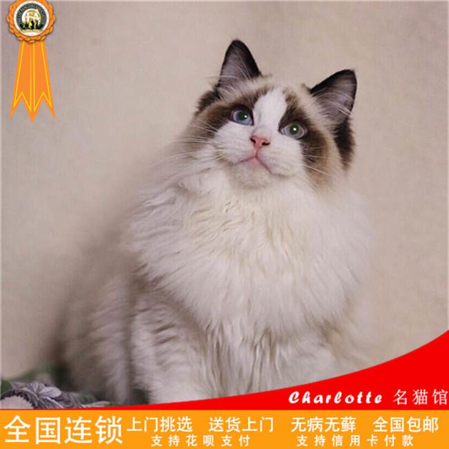 CFA认证猫舍出售家养布偶猫纯种健康幼猫活体可爱粘人