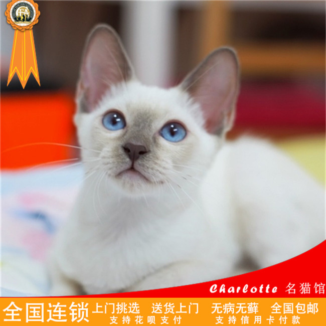 出售泰国纯种海豹暹罗猫咪宠物活体幼猫真猫家养繁殖蓝眼睛猫