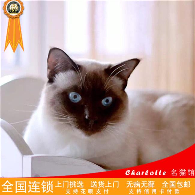 预售赛级纯种泰国暹罗猫活体宠物猫咪幼猫仙女猫星罗幼猫活体