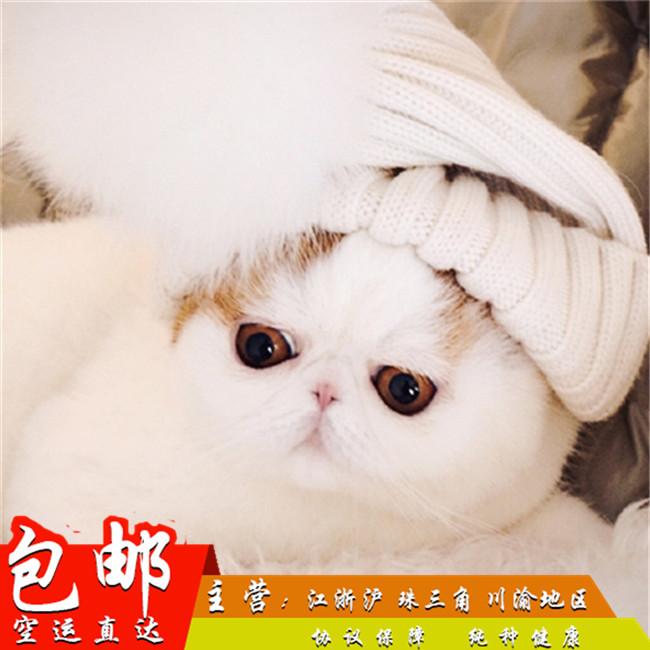 纯种加菲猫异国短毛猫活体家养宠物猫幼崽异短红小胖网红猫黄白