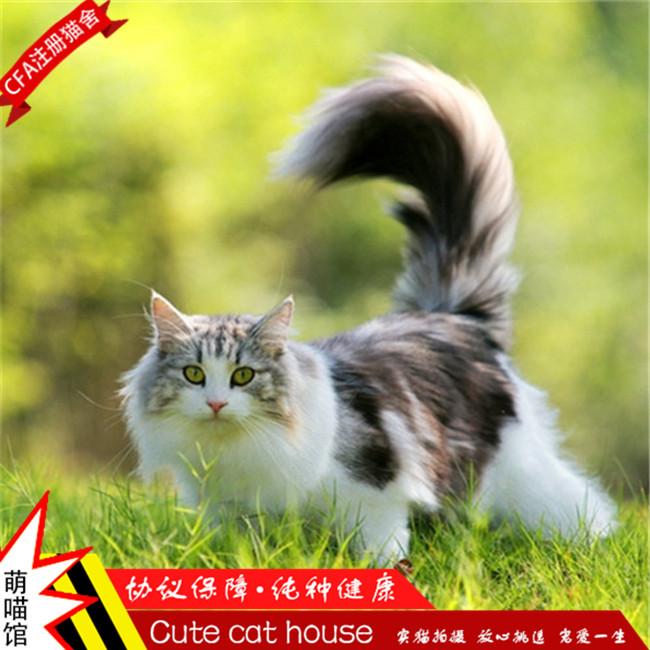 猫舍出售缅因猫活体纯种猫宠物猫咪活体缅因猫幼猫活体公