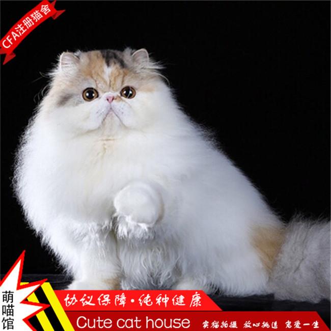 猫咪活体加菲猫纯白色宠物猫幼猫家养猫咪小奶猫波斯猫异国公主