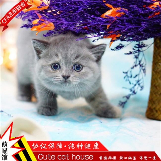 蓝猫宠物活体纯种英国短毛猫幼猫深蓝色宠物小猫咪迷你家养出售