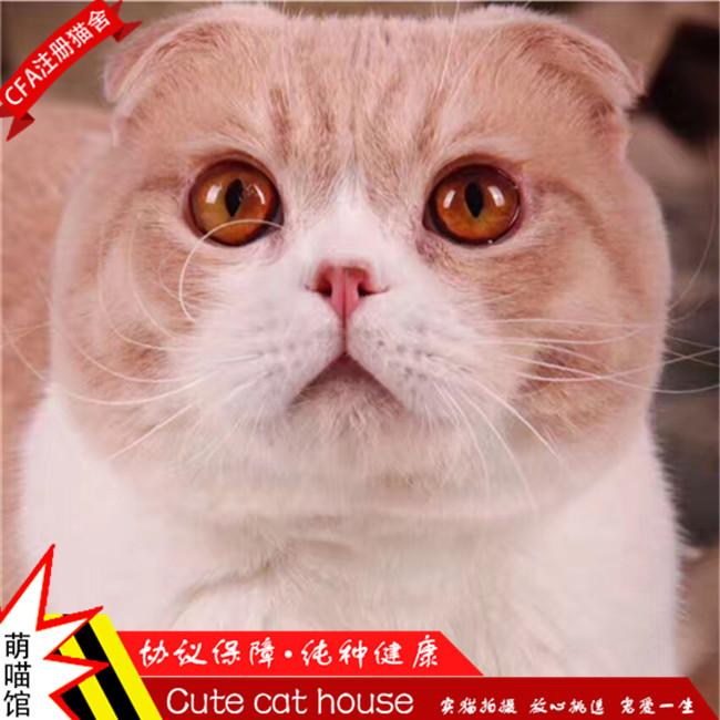 英短蓝白猫宠物猫纯种英国短毛猫英短蓝白苏格兰折耳活体幼猫