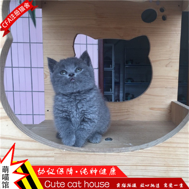 宠物小猫咪纯种家养金吉拉英国短毛猫英短蓝猫加白幼猫活体幼崽