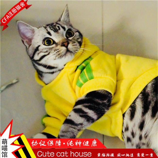 出售家养繁殖纯种美国短毛猫美短银虎斑宠物猫活体美短幼猫