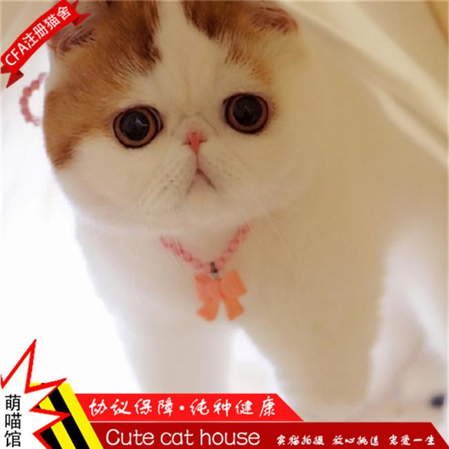 红虎斑异短加菲纯种加菲猫异国短毛猫波斯幼猫售宠物猫咪幼崽定