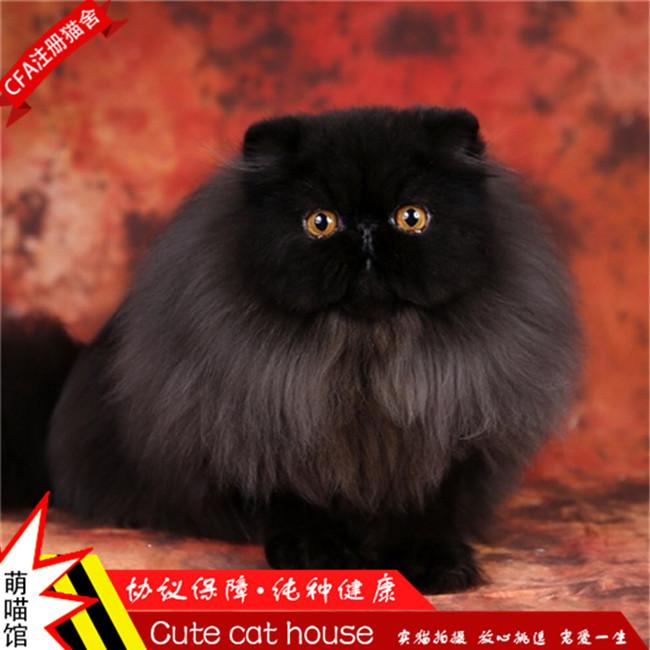赛级双血加菲猫波斯猫活体幼猫纯种红虎斑异国短毛猫家养活体猫