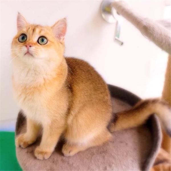 美短加白宠物猫美国短毛猫银虎斑起司猫活体幼猫纯种美短折耳
