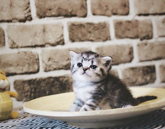 出售美短虎斑活体宠物猫美国短毛猫标版虎斑纹幼猫家养猫崽
