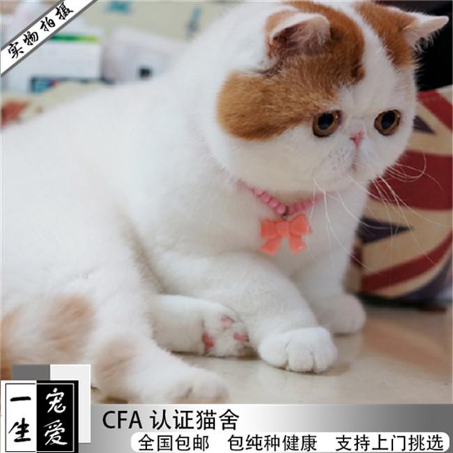 加菲猫异国短毛猫纯种加菲宠物猫布偶活体幼崽小奶猫蓝猫短毛猫