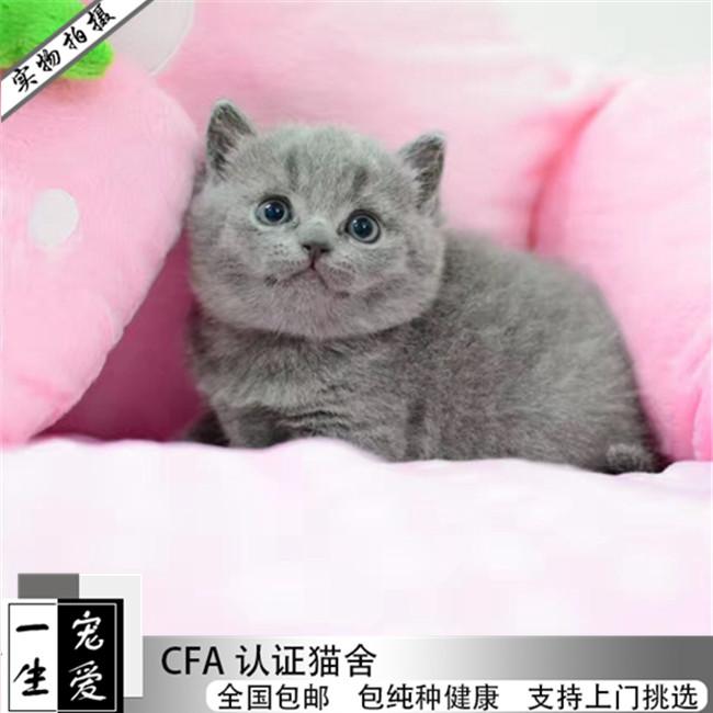 英短蓝猫活体蓝猫幼猫猫咪活体英短蓝猫宠物猫英短活体