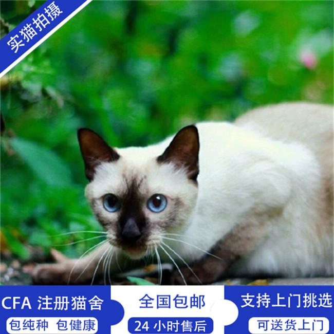 暹罗猫活体泰国暹罗猫挖煤工公母幼猫咪活猫家养纯种蓝眼睛暹罗