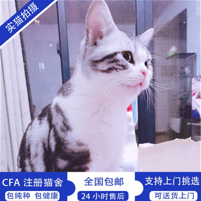 纯种美国短毛猫纯种美短加白起司猫活体美短虎斑立耳银虎斑宠物