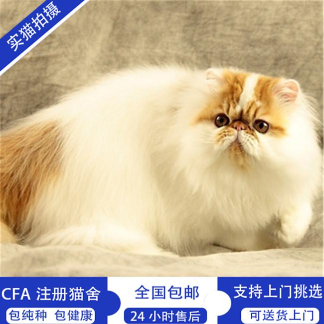 猫舍出售波斯猫可爱萌猫波斯猫纯种多只可选