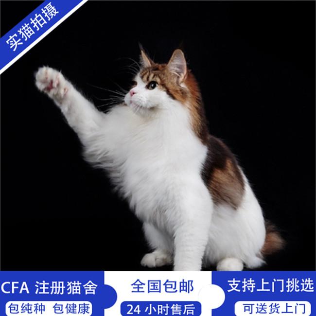 银虎斑缅因猫上海猫舍缅因库恩猫活体幼猫虎斑猫大型猫森林猫