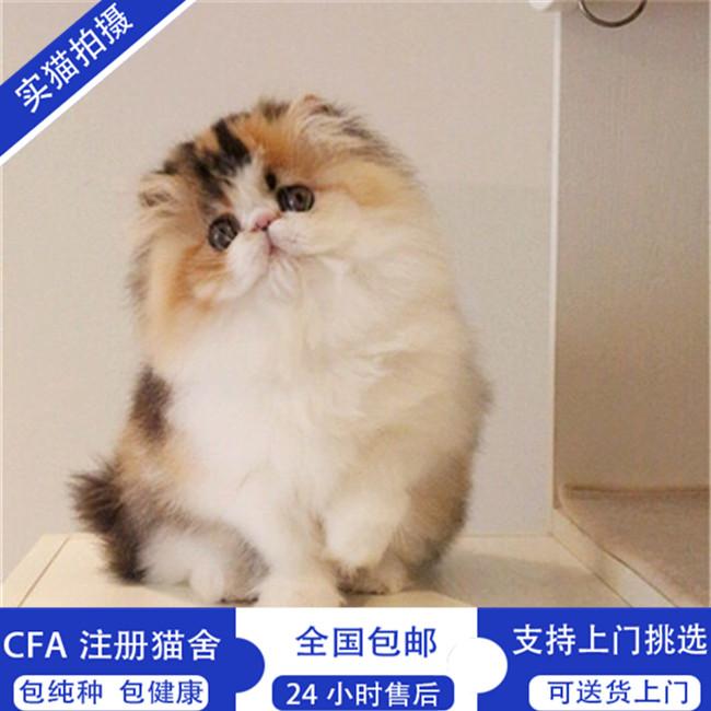 波斯猫幼猫波斯猫宠物猫活体波斯猫幼崽出售纯种健康