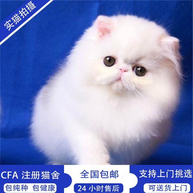 出售纯种波斯猫活体幼猫纯白色长毛猫家养宠物猫
