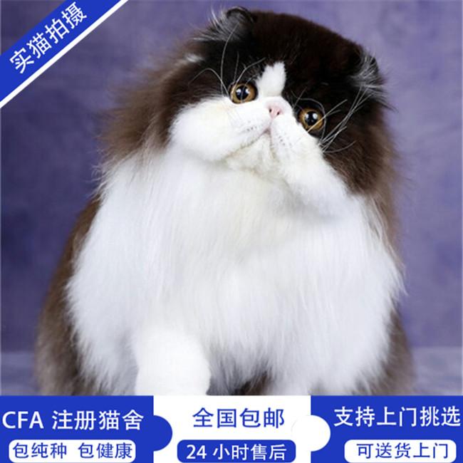 纯白波斯猫活体纯白加菲猫活体加菲猫活体幼猫猫咪活体长毛猫赛