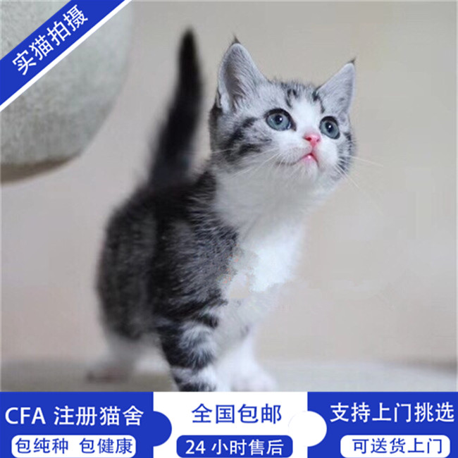 纯种家养起司猫美短猫活体美国短毛猫纯种猫银色虎斑加白花纹