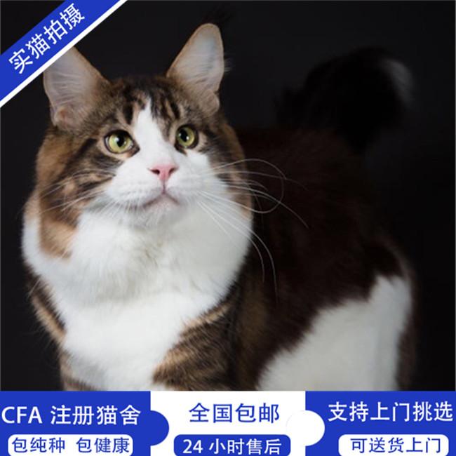 缅因猫活体缅因猫幼猫出售宠物猫活体包健康纯种