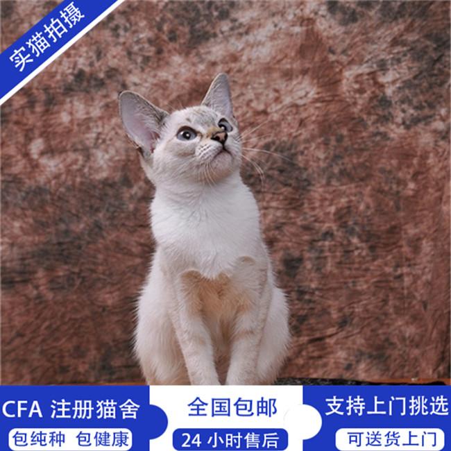 出售纯种暹罗猫幼猫活体泰国猫宠物猫咪活体泰国暹罗猫幼猫