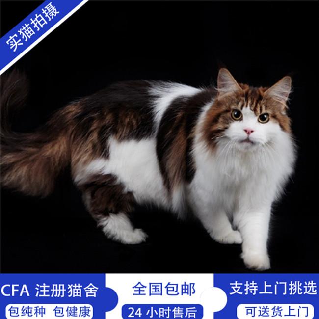 纯种缅因猫活体幼猫银虎斑烟灰色宠物猫家养棕虎斑库恩猫崽