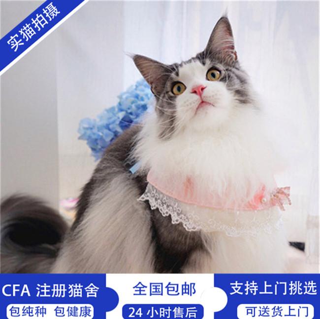 缅因猫幼猫活体纯种宠物猫活体幼崽小奶猫宠物猫活体大型猫咪出