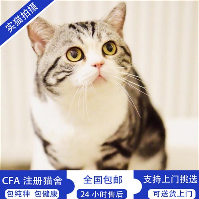 美短虎斑加白起司猫活体家养繁殖纯种美国短毛猫猫咪幼崽宠物