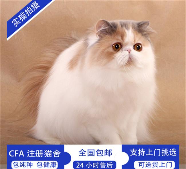 纯白波斯猫异国长毛猫波斯猫幼猫活体宠物猫咪纯白色猫咪