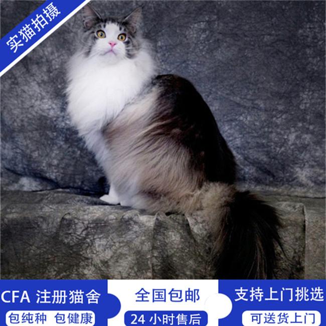 美国缅因猫活体幼猫挪威森林猫cfa纯种缅因幼猫长毛猫巨型出
