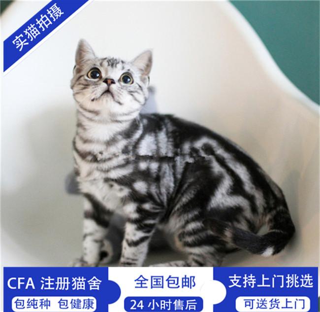 美国短毛猫家养美短虎斑加白起司标斑宠物猫幼猫咪活体纯种健康