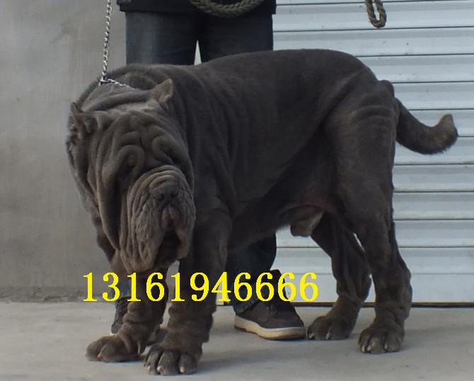 犬舍出售纯种健康的纽波利顿幼犬