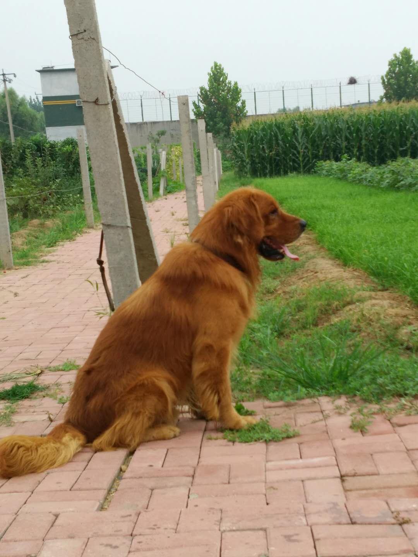 纯种金毛;幼犬转让;公犬借配