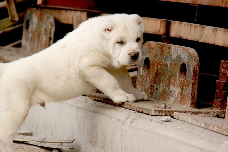 中亚牧羊犬 大型犬舍 繁殖纯种中亚犬宝宝1