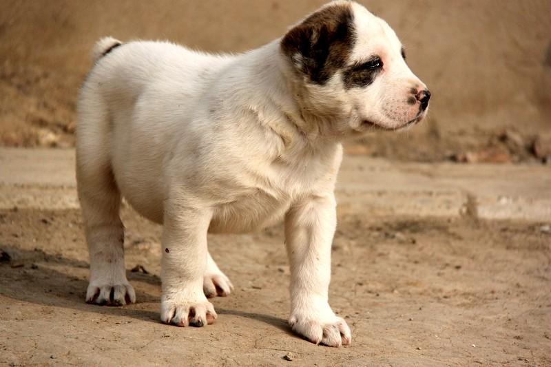 中亚牧羊犬 大型犬舍 繁殖纯种中亚犬宝宝8