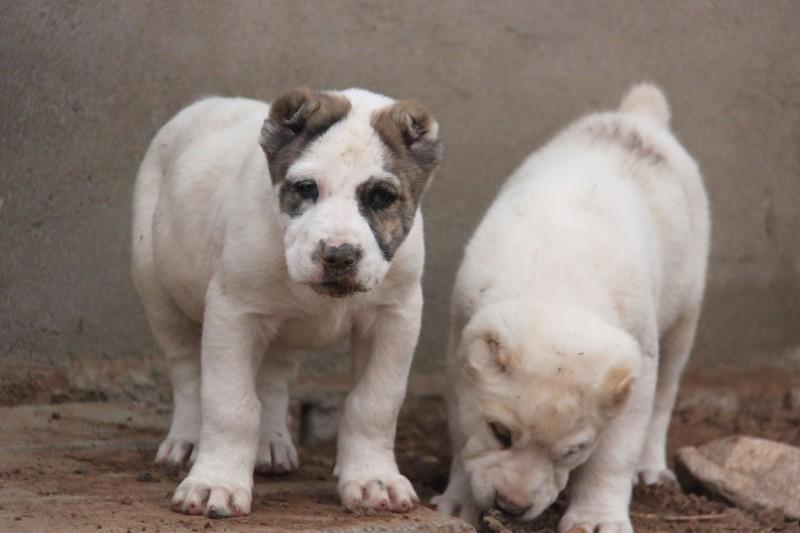 中亚牧羊犬 大型犬舍 繁殖纯种中亚犬宝宝2
