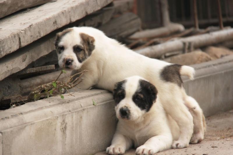 中亚牧羊犬 大型犬舍 繁殖纯种中亚犬宝宝6